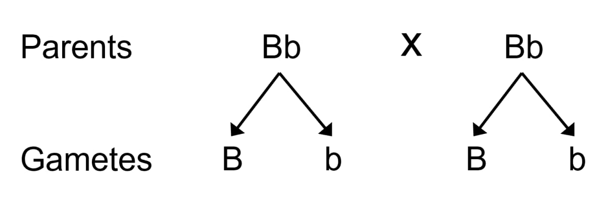 In a certain species of animals, black fur (B) is dominant over brown fur (b). Predict the genotype and phenotype of the offspring, when both parents are 'Bb' or have heterozygous black fur. Genetics, Concise Biology Solutions ICSE Class 10.