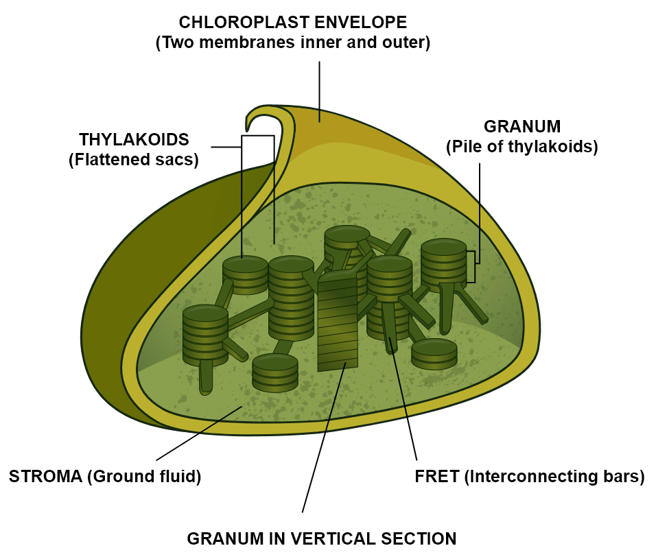 Draw a neat and labelled diagram of a chloroplast. Photosynthesis, Concise Biology Solutions ICSE Class 10.