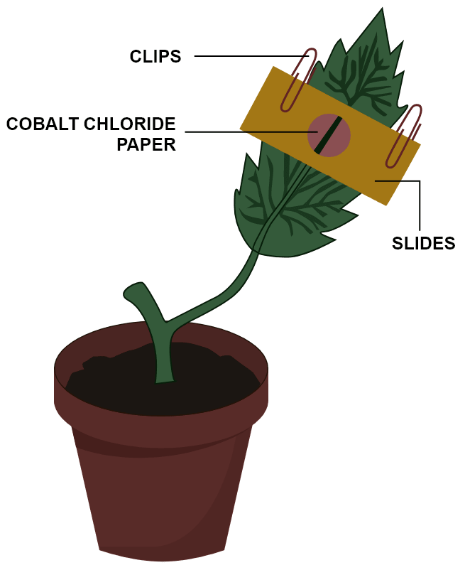 Given ahead is the diagram of an experimental set up to study the process of transpiration in plants. Study the same and then answer the questions that follow. Name the colour of dry cobalt chloride paper. Is the experimental leaf a monocot or a dicot? Give a reason to support your answer. Why are glass slides placed over the dry cobalt chloride papers? After about half an hour what change, if any, would you expect to find in the cobalt chloride paper placed on the dorsal and ventral sides of the leaf? Give a reason to support your answer. Transpiration, Concise Biology Solutions ICSE Class 10.