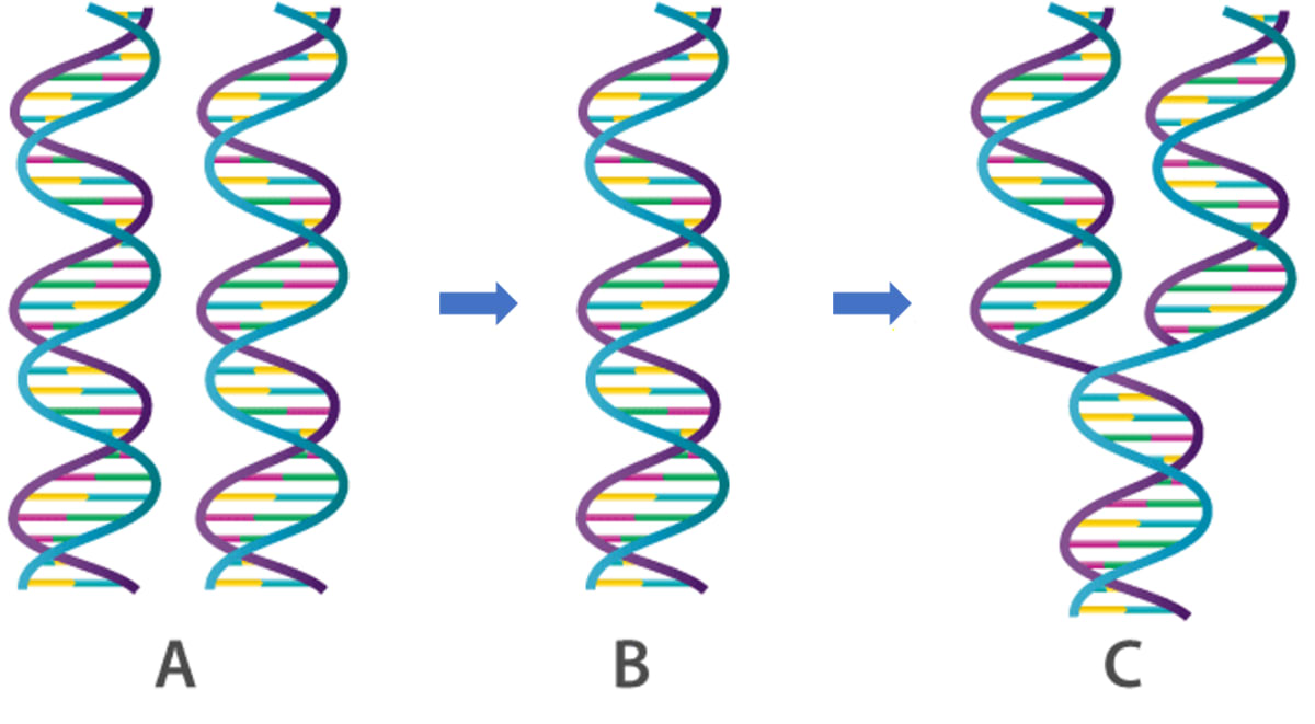 The three sketches given below (A, B and C) are intended to represent the replication of DNA. What should be their correct sequence starting with the first and ending with the last? Cell Cycle, Cell Division, Chromosomes, Concise Biology Solutions ICSE Class 10.