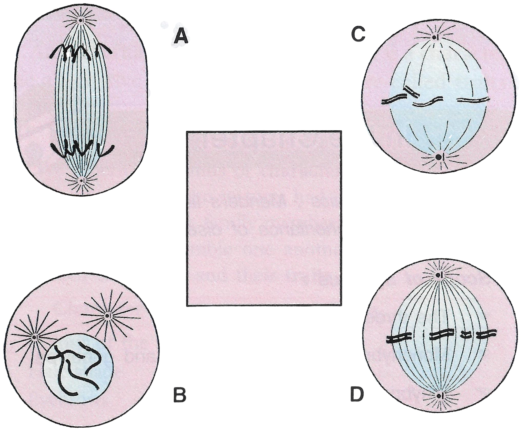 Shown below are four stages (A, B, C, D) (not in sequence) of a certain kind of cell division. Is it a plant cell or an animal cell? Give two reasons. Is it undergoing mitosis or meiosis? Cell Cycle, Cell Division, Chromosomes, Concise Biology Solutions ICSE Class 10.
