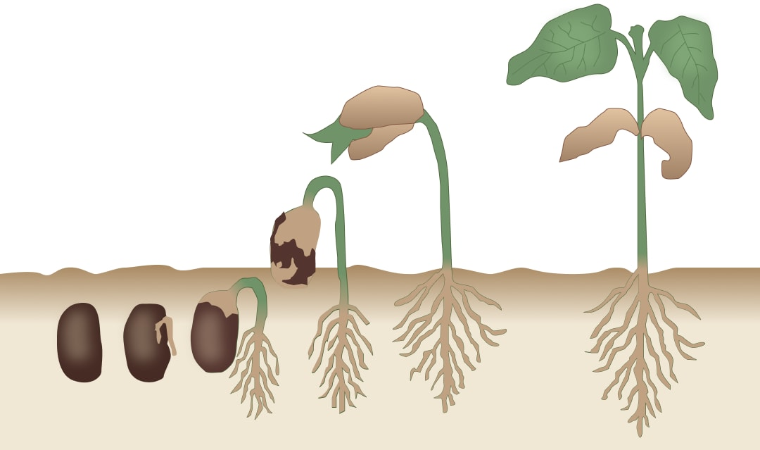 The response of plants to gravity is known as geotropism. How are plant parts sensitive to gravity? Describe with the help of a diagram. Chemical Coordination in Plants, Concise Biology Solutions ICSE Class 10.