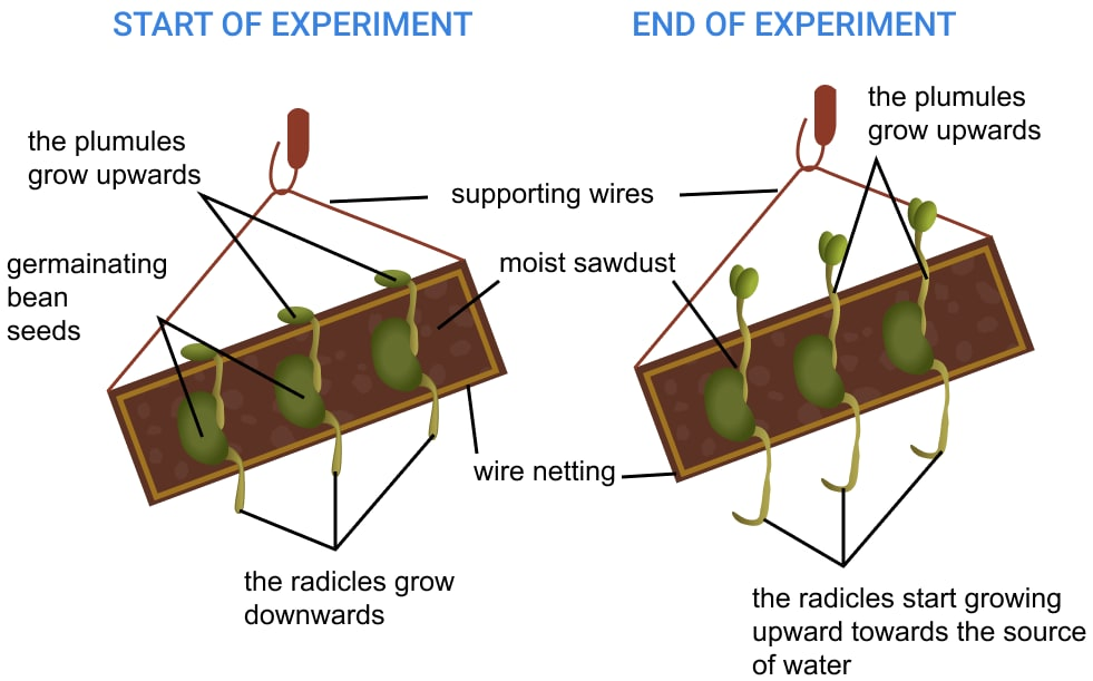 With the help of an experiment, prove that roots are more positively hydrotropic than geotropic. Chemical Coordination in Plants, Concise Biology Solutions ICSE Class 10.