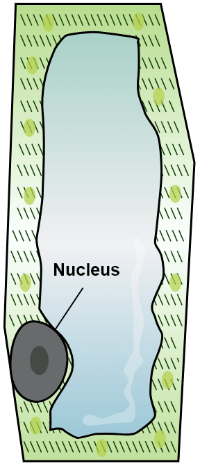A  turgid leaf cell of a water plant placed in ordinary water for some time. Absorption by Roots, Concise Biology Solutions ICSE Class 10.