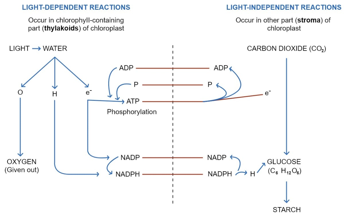 Describe the main chemical changes which occur during photosynthesis in Light Reaction and Dark Reaction. Photosynthesis, Concise Biology Solutions ICSE Class 10.