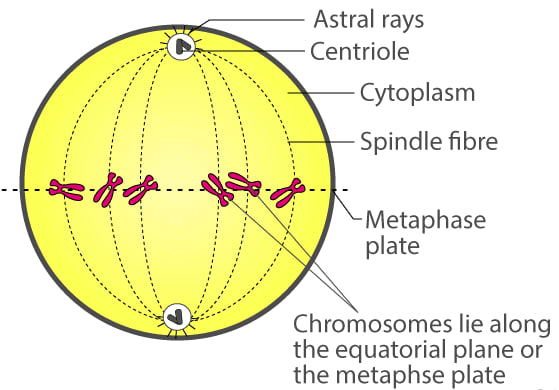 Draw a labelled diagram to show the metaphase stage of mitosis in an animal cell having 6 chromosomes. Cell Cycle, Cell Division, Chromosomes, Concise Biology Solutions ICSE Class 10.