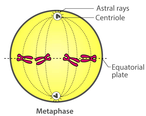 The diagram below represents a stage during cell division. Study the same and then answer the questions that follow. Name the parts labelled 1, 2 and 3. Identify the above stage and give a reason to support your answer. Cell Cycle, Cell Division, Chromosomes, Concise Biology Solutions ICSE Class 10.