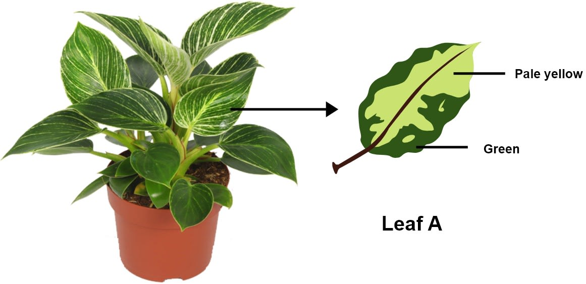 A potted plant with variegated leaves was taken in order to prove a factor necessary for photosynthesis. The potted plant was kept in the dark for 24 hours and then placed in bright sunlight for a few hours. Observe the diagram and answer the questions.**What** aspect of photosynthesis is being tested in the above diagram? Why was the plant placed in the dark before beginning the experiment? Write a balanced chemical equation to represent the process of photosynthesis. What will be the result of starch test when performed on leaf A shown in the diagram? Draw a neat and labelled diagram of a chloroplast. Photosynthesis, Concise Biology Solutions ICSE Class 10.