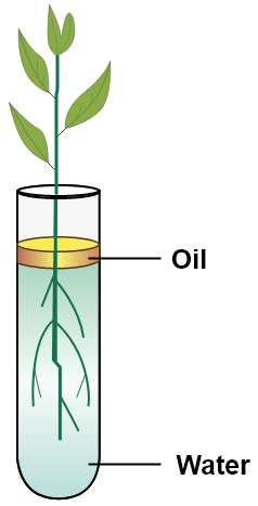 Study the diagram and answer the questions that follow. Name the process being studied in experiment. Explain the process. Why is oil placed over water? What do we observe with regard to the level of water when this set up is placed in bright sunlight, humid conditions, windy day? Mention any three adaptations found in the roots of the plant which enable them to carry out the process mentioned. Absorption by Roots, Concise Biology Solutions ICSE Class 10.
