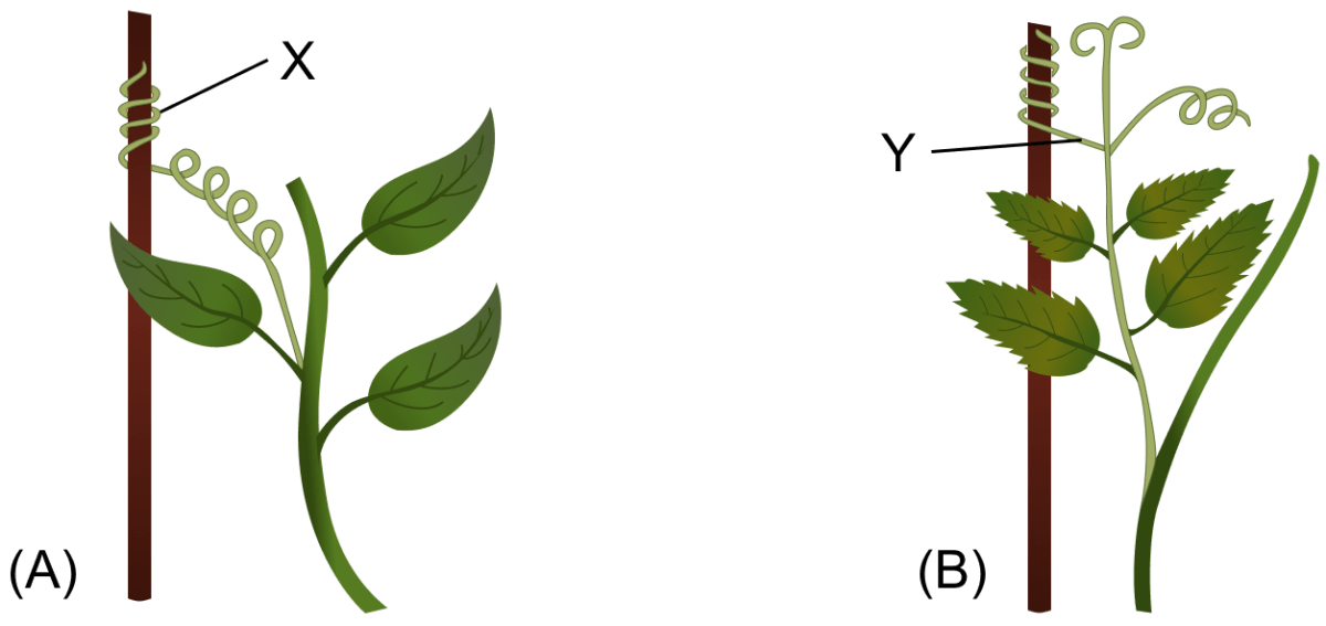 Study the diagrams given below and answer the following questions. Name the structures shown as X and Y in the figures (A) and (B), respectively. Write the functions performed by the structures X and Y. Name the phenomenon depicted and define it. How do the structures X and Y differ from each other? Give examples of the plants which show the said phenomenon. Chemical Coordination in Plants, Concise Biology Solutions ICSE Class 10.