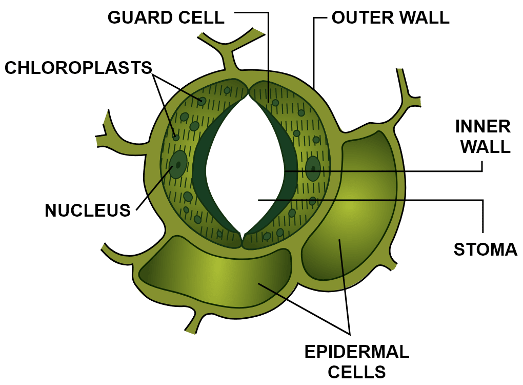 Draw a neat diagram of the stomatal apparatus found in the epidermis of leaves and label the Stoma, Guard cells, Chloroplast, Epidermal cells, Cell wall and Nucleus. Photosynthesis, Concise Biology Solutions ICSE Class 10.