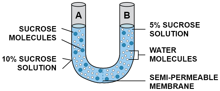 Study the experimental setup in the figure and then answer the questions that follow. What phenomenon is being studied by this setup? Explain the phenomenon mentioned in (a) above. What is meant by semipermeable membrane? What will you observe in the setup after about half an hour? Give a reason for your answer. Absorption by Roots, Concise Biology Solutions ICSE Class 10.