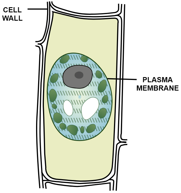 A leaf cell of a water plant was placed in a liquid other than pond water. After sometime, it assumed a shape as shown. Give the term for the state of the cell it has acquired. Name the structure which acts as a selectively permeable membrane. Absorption by Roots, Concise Biology Solutions ICSE Class 10.