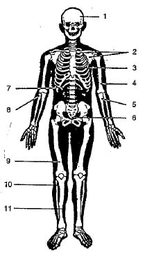 Given below is a diagram of human skeleton. Name the bones numbered 1-11. Skeleton, Concise Biology ICSE Class 9.