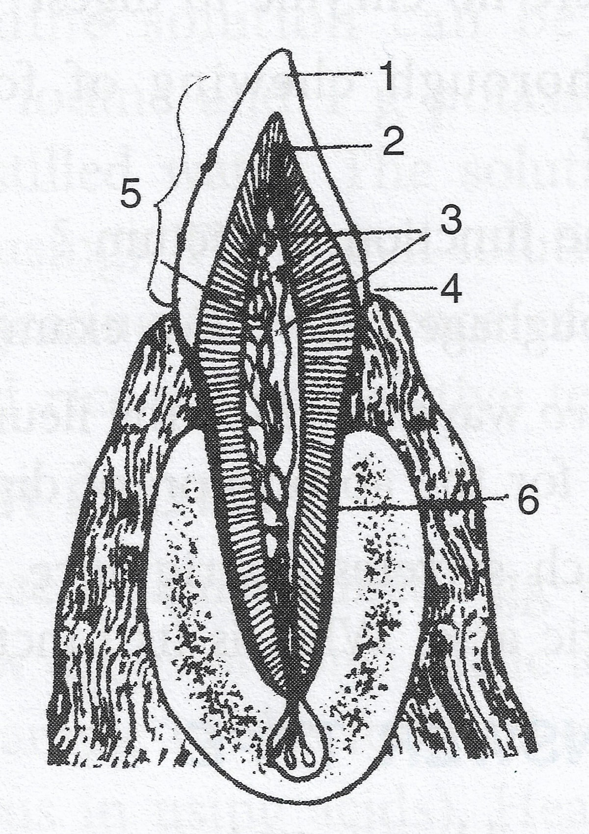 Name the parts labeled 1, 2, 3, 4, 5 and 6. Identify the tooth and give a reason to support your answer. Digestive System, Concise Biology ICSE Class 9.