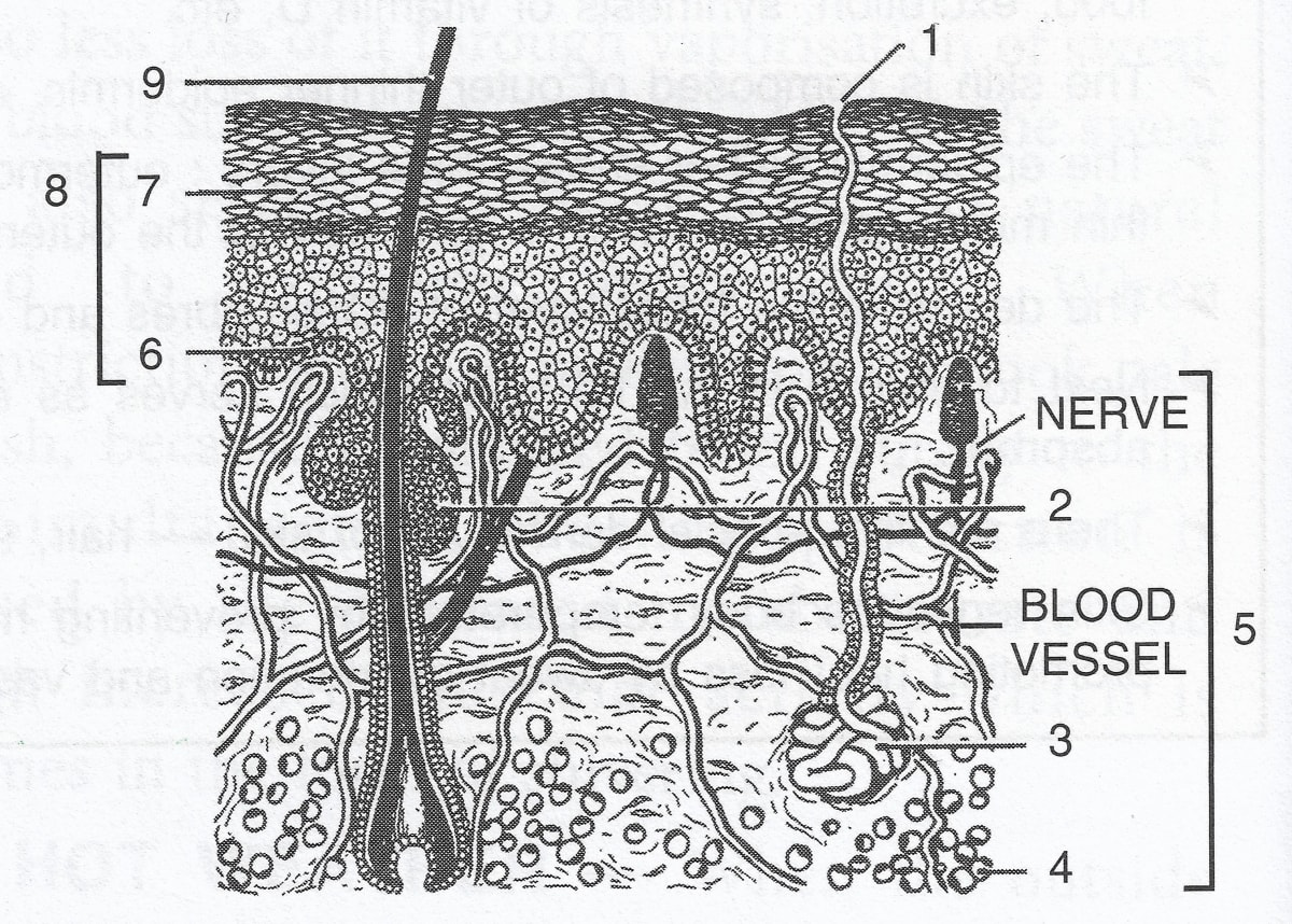 Given below is a diagrammatic sketch of the vertical section of human skin. Label the parts numbered 1 to 9. State one main function of each of the following parts. Skin, Concise Biology ICSE Class 9.