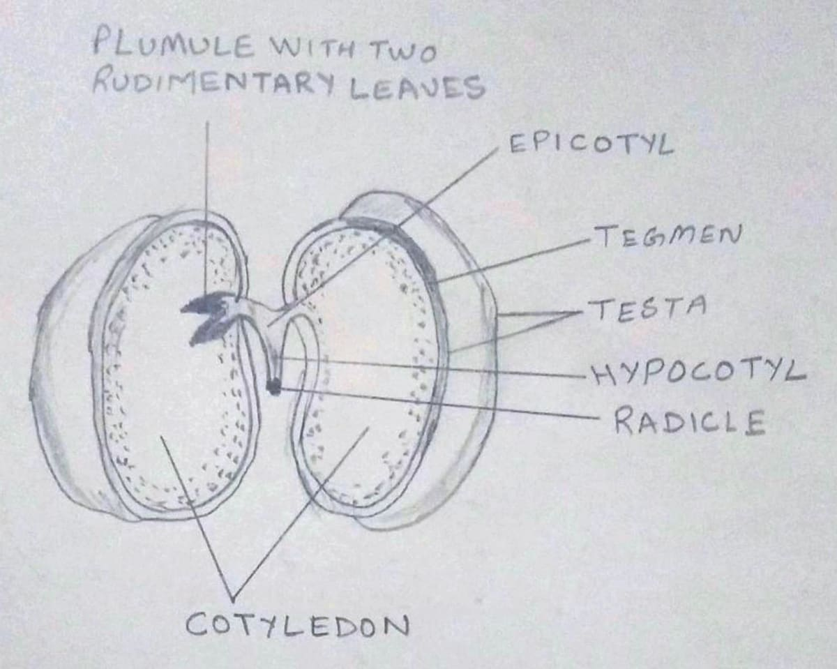 Mature Bean Seed diagram. Seeds, Structure and Germination, Concise Biology Solutions ICSE Class 9.