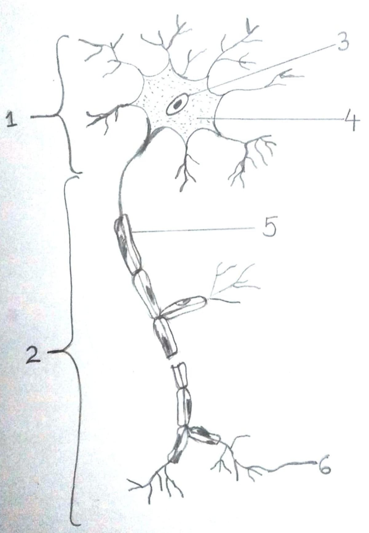 Study the diagram of neuron and answer the questions. Tissues: Plant And Animal Tissues, Concise Biology ICSE Class 9.