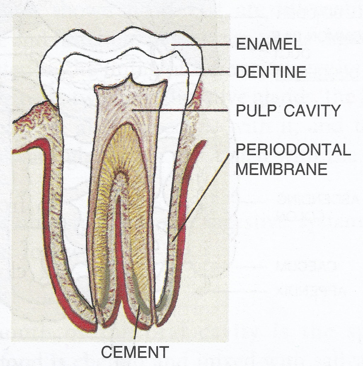 Draw a labelled diagram to show the internal structure of a mammalian tooth with two roots. Digestive System, Concise Biology ICSE Class 9.