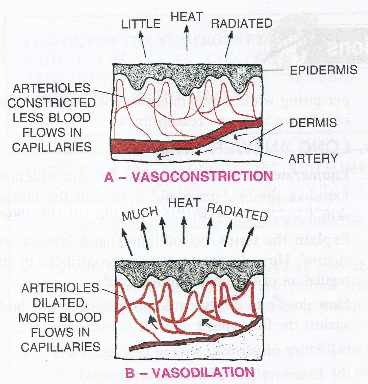 """Explain the terms """"vasodilation"""" and """"vasoconstriction"""". How do these processes contribute in the regulation of the body temperature? Skin, Concise Biology ICSE Class 9."""