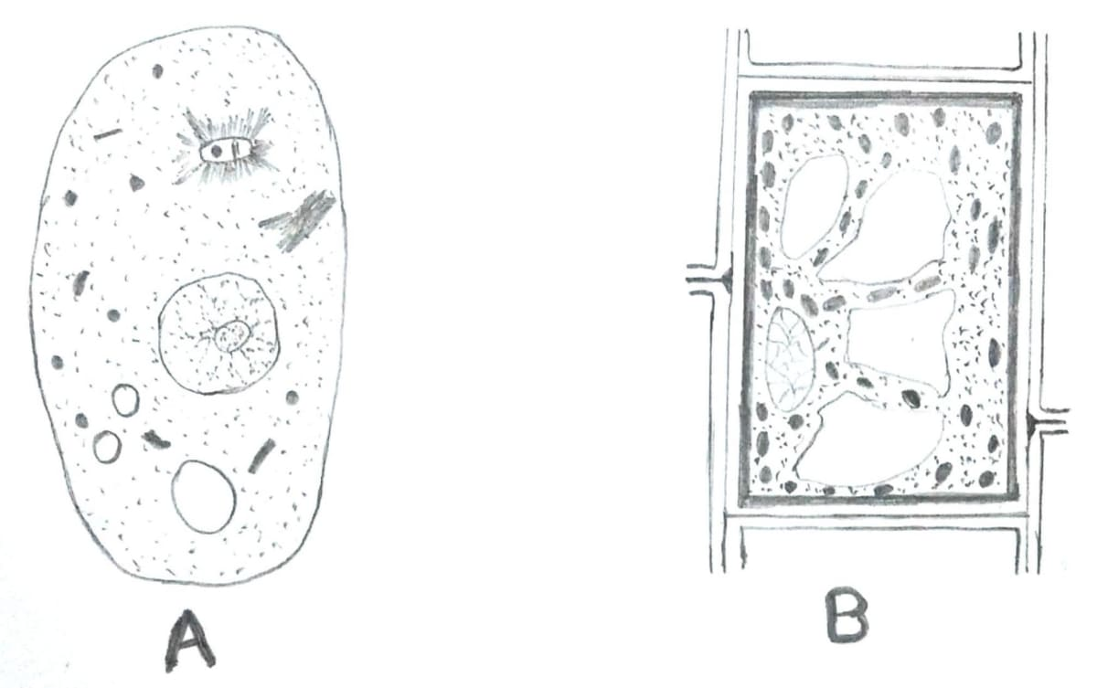 Which one of these is a plant cell? Give reason in support of your answer. Cell the unit of life, Concise Biology ICSE Class 9.
