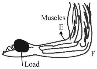 Positions of load L, effort E and fulcrum F in the forearm are labelled in the diagram. Machines, Concise Physics Class 10 Solutions.